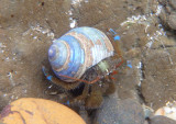 Blueband Hermit Crab in Tegula species shell