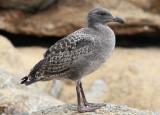 Western Gull; juvenile