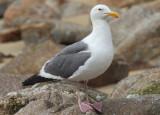 Western Gull; breeding