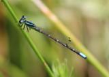 Ischnura perparva; Western Forktail; male