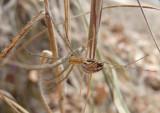 Neriene litigiosa; Sierra Dome Spider
