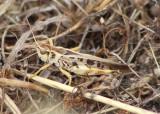 Camnula pellucida; Clear-winged Grasshopper; male