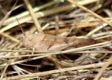Trimerotropis thalassica; Thalassica Grasshopper