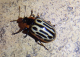 Chrysomela scripta; Cottonwood Leaf Beetle