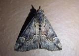 8442 - Hypena baltimoralis; Baltimore Hypena; female