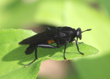 Mydas clavatus; Mydas Fly species