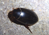 Rhantus calidus; Predaceous Diving Beetle species