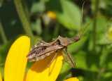 Sinea diadema; Spined Assassin Bug
