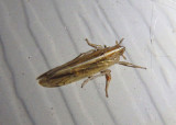 Stenocranus unipunctatus; Delphacid Planthopper species