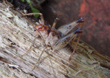 Ceuthophilus seclusus; Secluded Camel Cricket; male