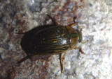 Tropisternus collaris; Water Scavenger Beetle species