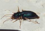 Tetracha virginica; Virginia Metallic Tiger Beetle