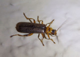 Cultellunguis Soldier Beetle species