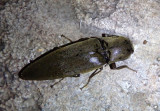 Orthostethus infuscatus; Click Beetle species