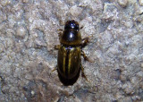 Aphodius pseudolividus; Aphodiine Dung Beetle species; exotic