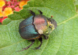 Phanaeus vindex; Rainbow Scarab; female