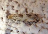 Pelochrista Tortricid Moth species