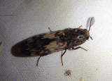 Pherhimius fascicularis; Click Beetle species