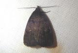 8326 - Idia rotundalis; Rotund Idia Moth