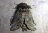 7985 - Heterocampa subrotata; Small Heterocampa