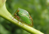 Ceresa alta; Buffalo Treehopper