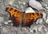 Polygonia progne; Gray Comma