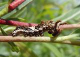 Limenitis archippus archippus; Viceroy caterpillar
