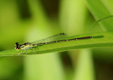 Ischnura posita; Fragile Forktail; male
