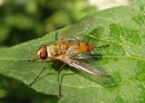 Leskiini Tachinid Fly species