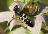 Stictia carolina; Horse Guard Wasp