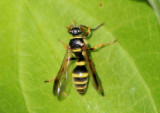 Psammaletes mexicanus; Sand Wasp species