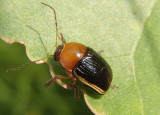 Cryptocephalus venustus; Case-bearing Leaf Beetle species