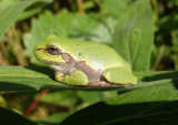 Gray/Cope's Tree Frog