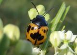 Labidomera clivicollis; Swamp Milkweed Leaf Beetle