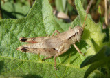 Melanoplus scudderi; Scudder's Short-wing Grasshopper; female