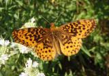 Boloria bellona; Meadow Fritillary