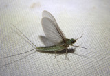 Callibaetis floridanus; Small Minnow Mayfly species; female