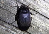 Penthe pimelia; Velvety Bark Beetle