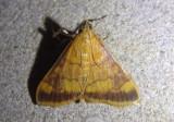 5042 - Pyrausta onythesalis; Crambid Snout Moth species