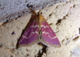 5034 - Pyrausta signatalis; Raspberry Pyrausta