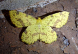6740-6743 - Xanthotype Geometrid Moth species