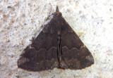 8448 - Hypena sordidula; Sordid Bomolocha Moth; male