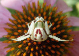 Misumenoides formosipes; Whitebanded Crab Spider; female