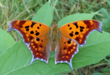 Polygonia interrogationis; Question Mark; fall form