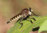 Promachus hinei; Robber Fly species; male