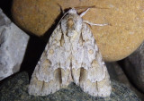 9236 - Acronicta morula; Ochre Dagger Moth