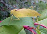 Amblycorypha oblongifolia; Oblong-winged Katydid