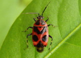 Deraeocoris histrio; Plant Bug species