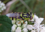 Hedriodiscus binotatus; Soldier Fly species; female