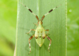 Neurocolpus nubilus group; Plant Bug species nymph